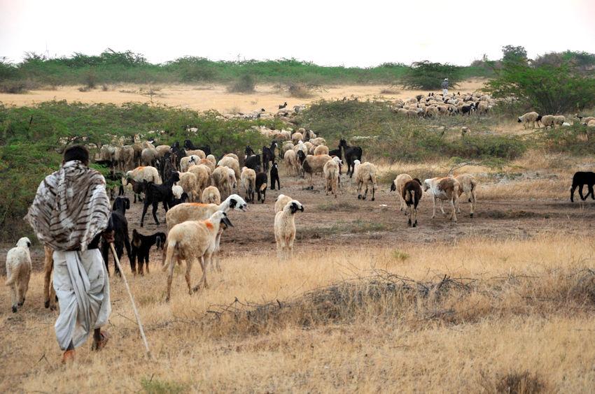 pastore nomade con gregge di pecore nella savana